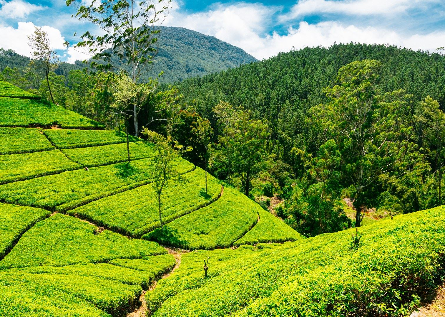 2 Weeks Holidays Nuwaraeliya Tea State