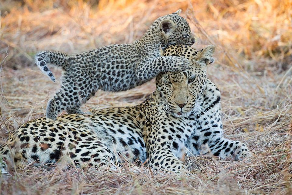 14 Days to Sri Lanka Yala Leopards