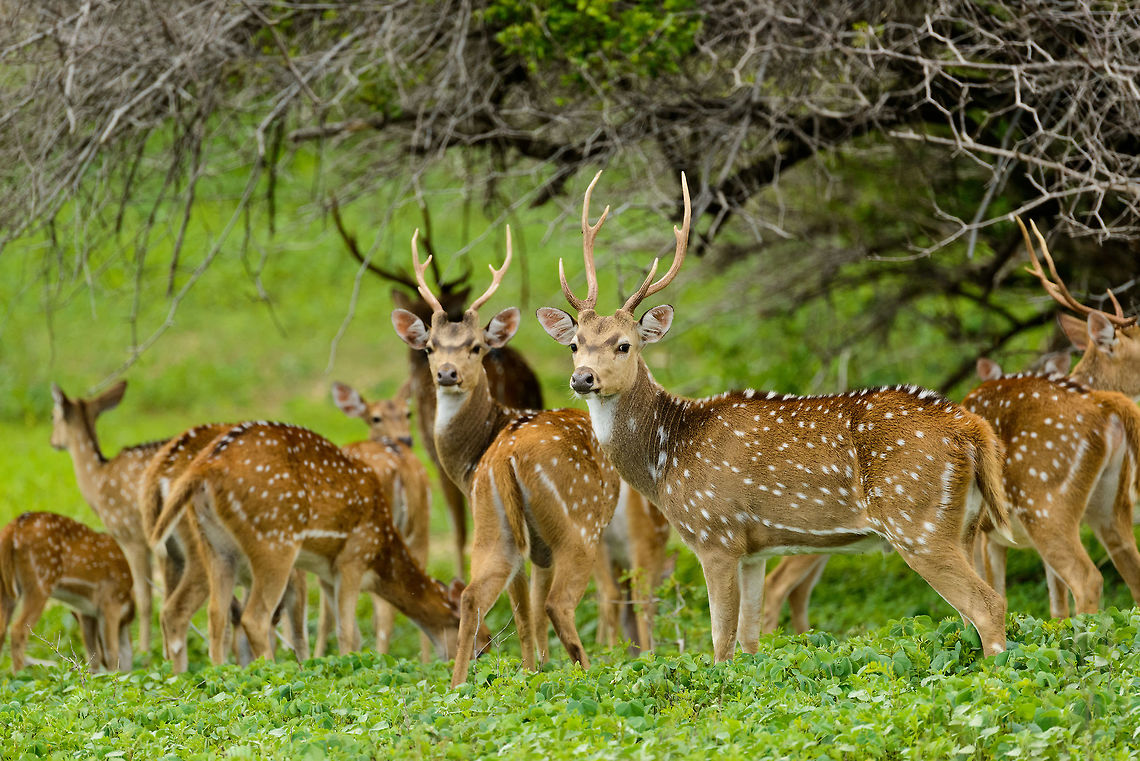 14 Days Tour Package Yala Deers